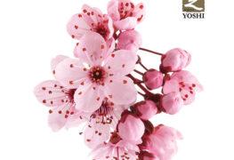 YOSHI-Spring-Teppanyaki